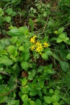 GoldenRagwort-2-20110425.jpg