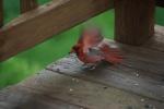 CardinalFeedingFlappingWings-20110618.jpg