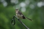 MockingbirdRainSoakedt-20110618.jpg