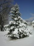 SnowCoveredTree-20030223.jpg